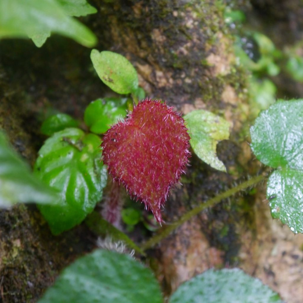 Begoniasp.