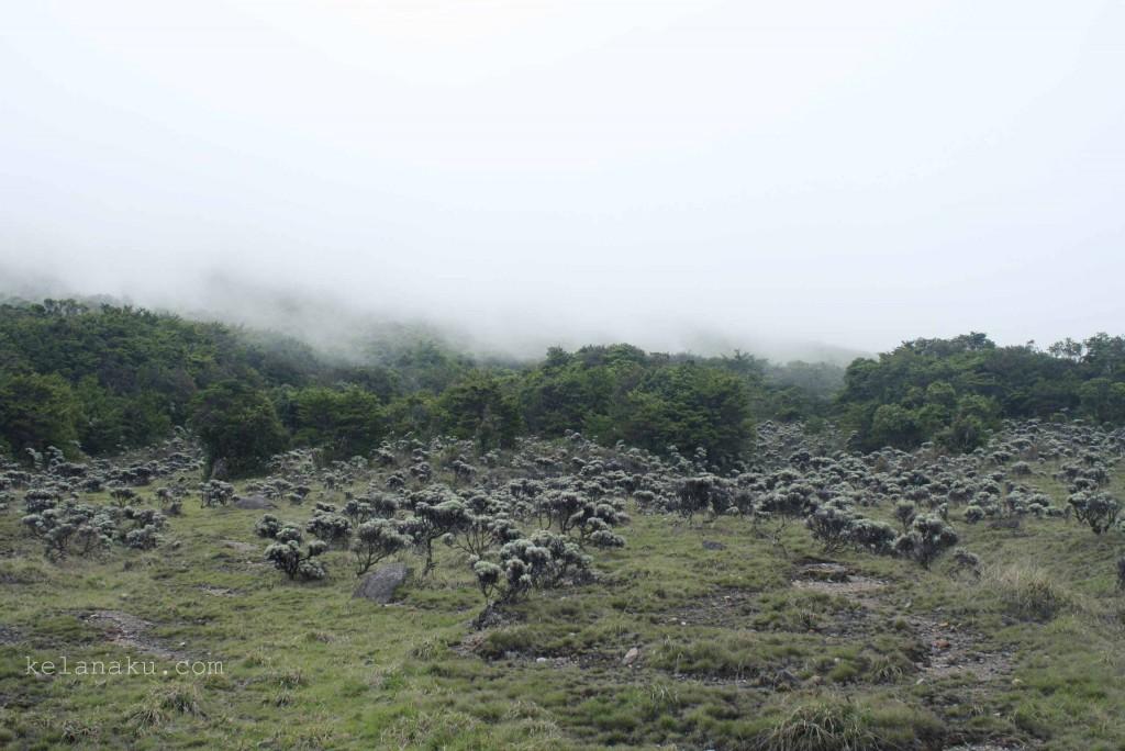 Edelweiss in Suryakencana, Gede Mountain