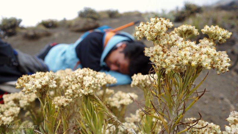 Edelweis dan pendaki yang kelelahan
