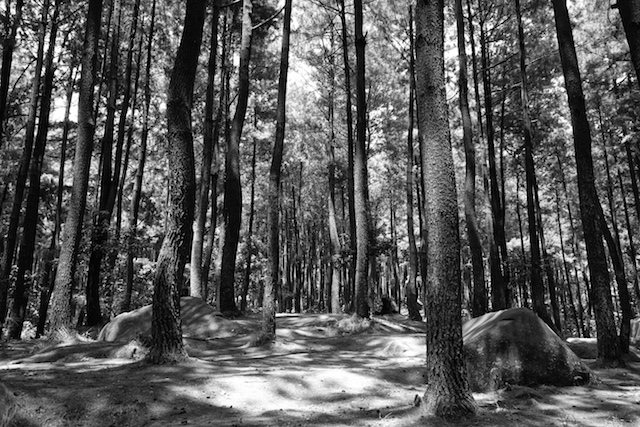 Pine Forest in BW