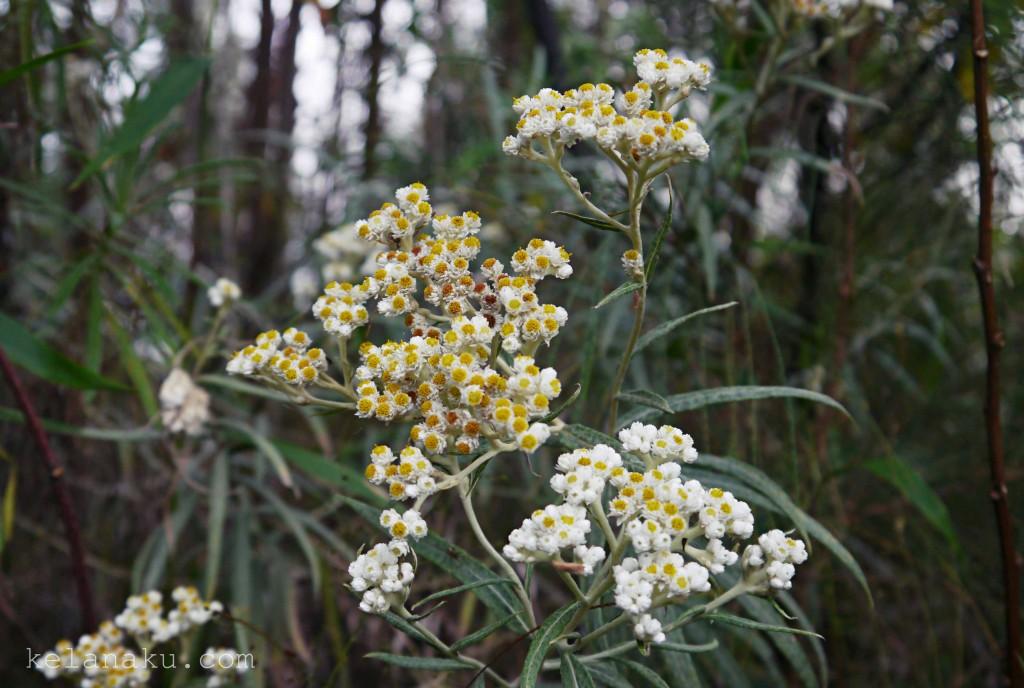 Edelweiss in Lawu Mountain