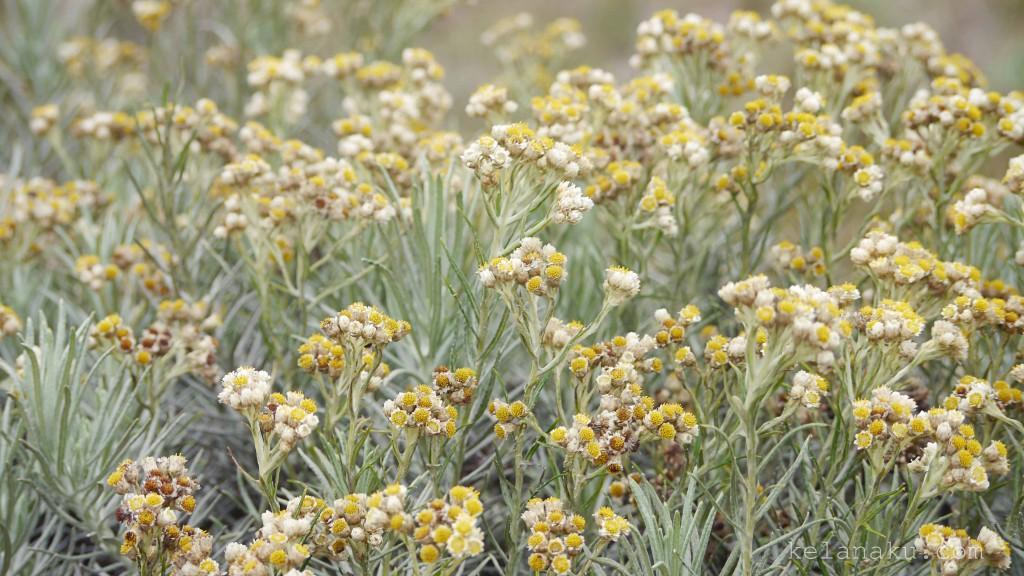 Edelweiss in Papandayan Mountain