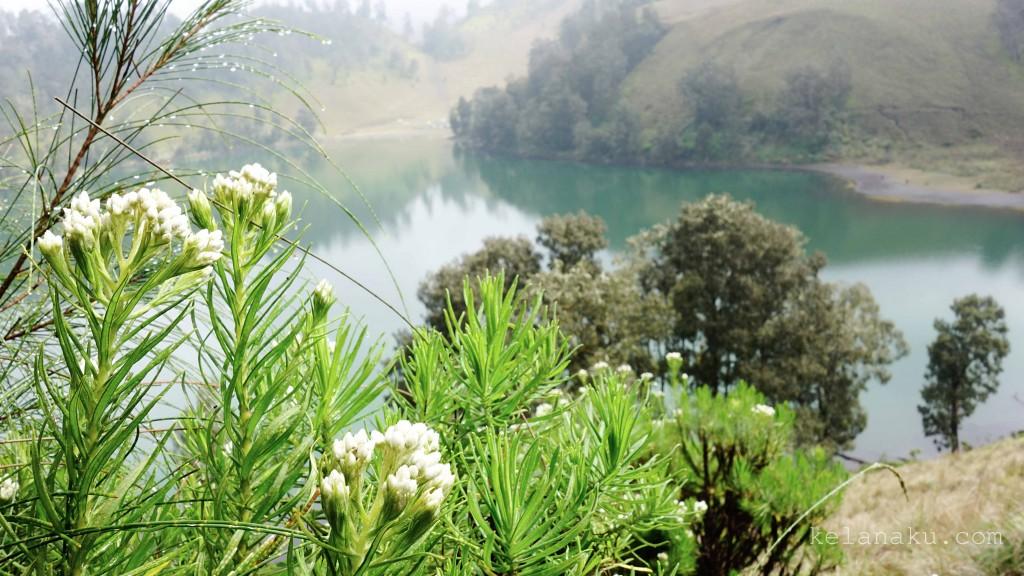 Edelweiss in Semeru Mountain