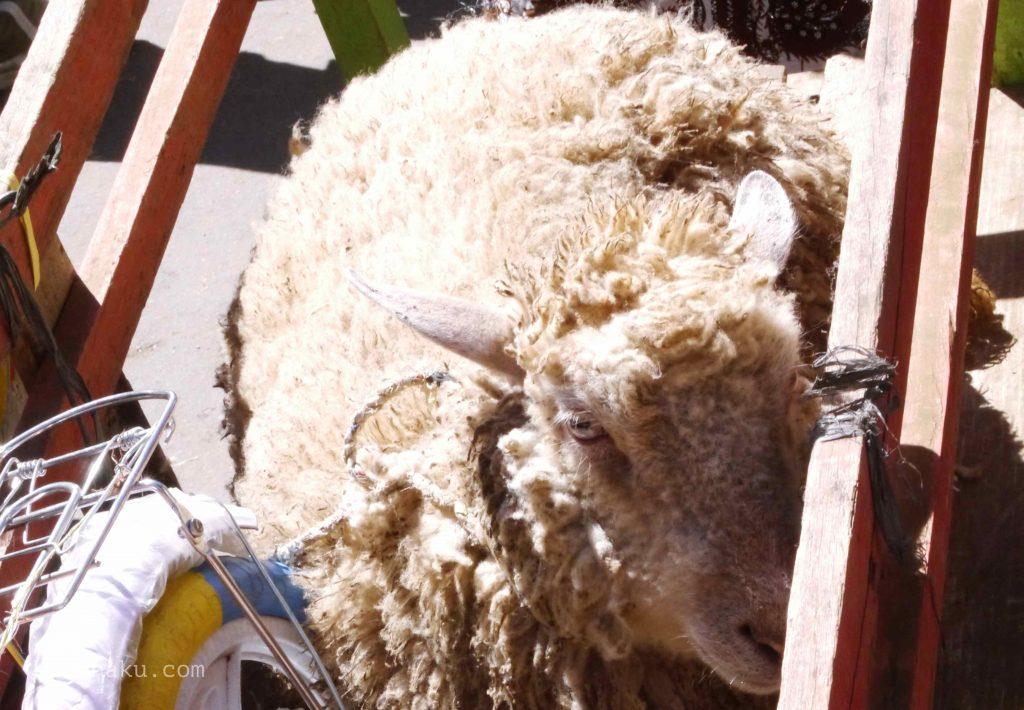 Domba permintaan anak gimbal_453
