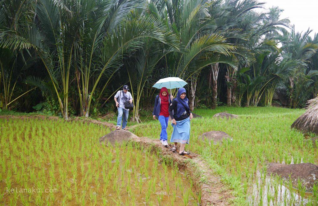 Sawah kampung urug_672