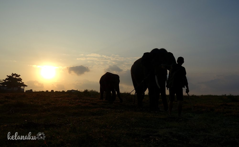 mengembala gajah way kambas